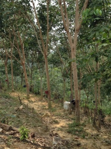 Rubber trees near the home