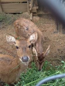deer at the plantation